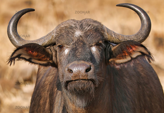 African buffalo, Kruger NP, South Africa