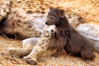 Junge Tüpfelhyäne, Kruger Nationalpark, Südafrica; young hyena, wildlife, Kruger NP, South Africa