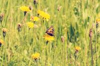 Butterfly on a summer meadow
