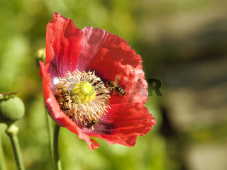 Poppy flower with bees