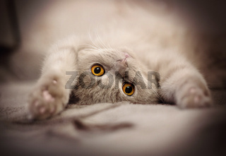 Domestic cat lying on a sofa