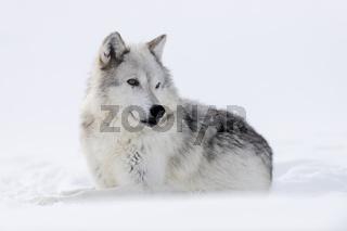 die Ohren gespitzt... Wolf *Canis lupus*