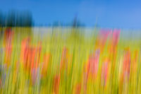 blurred Meadow with poppies