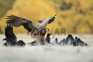wo die Raben sind... Seeadler *Haliaeetus albicilla* landet auf einer Wiese
