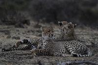 Cheetahs (Acinonyx jubatus)