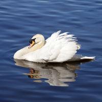 mute swan (Cygnus olor), swimming, side view, Essen, North Rhine-Westphalia, Germany, Europe