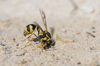 Mason wasp collecting mud, Eumenes dubius, Töpferwespe