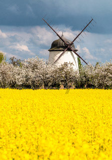 windmill surrounded by yellow rape field