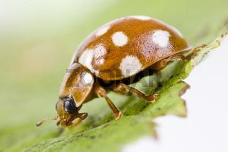 Vierzehntropfiger Marienkäfer  (Calvia quatuordecimguttata) - Calvia quatuordecimguttata - Cream Spotted Lady-beetle (Calvia quatuordecimguttata)