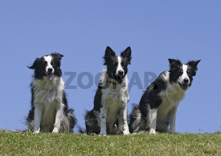 3 Border Collie