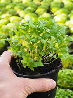 Fresh marjoram herbs growing in pot, held in hand