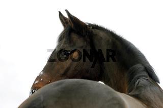 Pferd blickt über den Widerrist