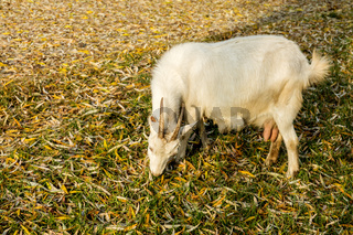 Goats graze on the lawn in the sunny autumn day