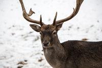 Fallow deer in winter 2 of 3