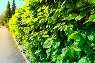 Hecke aus Hainbuchen (Carpinus betulus) im Sommer