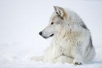 im Schnee... Timberwolf *Canis lupus lycaon*