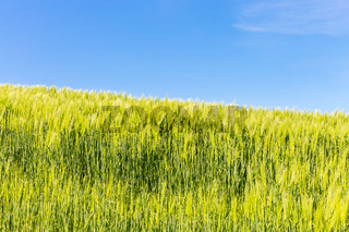 Wheat field with blue summer sky