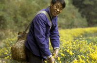 Chinesischer Chrysanthemen-Pfluecker