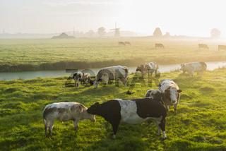 Cows at dawn