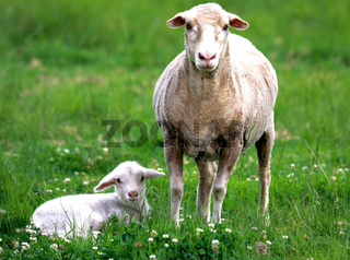 Lamb with its mommy