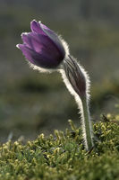 (common) pasque flower [Pulsatilla vulgaris, syn.: Anemone pulsatilla], Germany