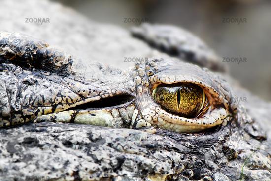 Crocodile Detail