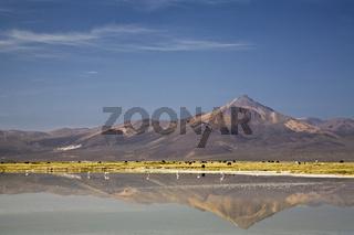 Lamas (Lama glama), Alpakas (Vicugna pacos) und Flamingos (Phoenicoparrus) am Salzsee Salar de Surire, Chile, Llamas, Alpacas and flamingos at salt lake Salar de Surire