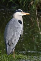 Grey Heron in the water 8