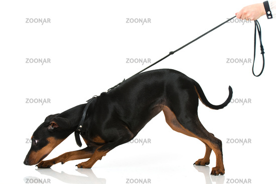 Dog pulls on a leash