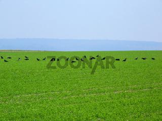 Raben auf dem Feld / Raven of the field