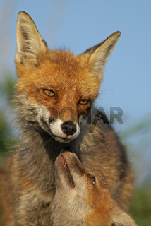 Rotfuchs, Vulpes vulpes, Red fox