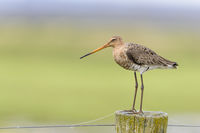 black tailed godwit on pole, Limosa limosa, Uferschnepfe