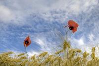 Getreidefeld mit Moon / field with poppies