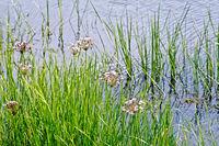Butomus umbellatus on water