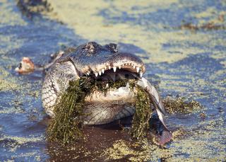 alligator eating a large fish