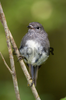 Langbeinschnaepper, Petroica australis, sitzt auf einem Zweig im gemaessigten Regenwald. Fjordland Nationalpark, Suedinsel, Neuseeland, South Island Robin, Petroica australis, sits on a twig in lush temperate rainforest. Fjordland National Park, South Isl