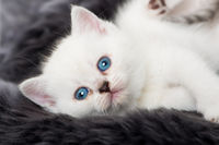 Weißes Kätzchen