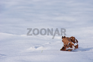 Blatt im Schnee