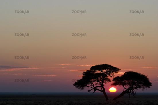 Umbrella Thorn Acacia at sunrise, Etosha National Park, Africa