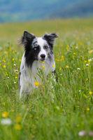 Border Collie in einer Frühlingswiese