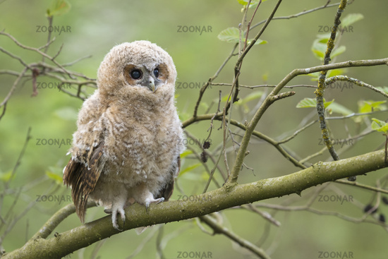 just fledged... chick of Tawny Owl *Strix aluco*