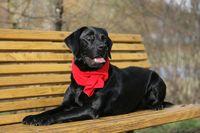 waiting black Labrador Retriever dog