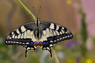 Schwalbenschwanz Papilio machaon