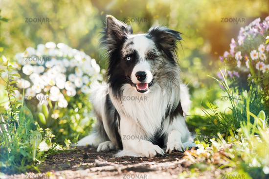 Border collie with summer flowers