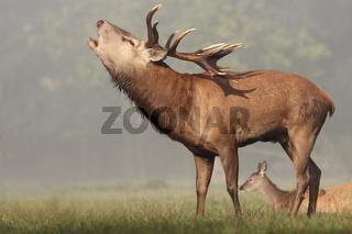 Rothirsch im Muensterland, Wildpark, Deutschland, Cervus elaphus, Red deer, Deer-park, Germany