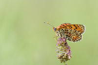 The spotted fritillary or red-band fritillary, Melitaea didyma