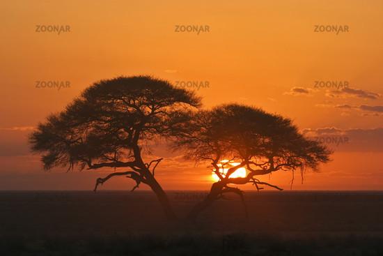 Umbrella Thorn Acacia, Etosha NP, Africa