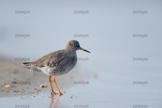 at the waterline... Redshank *Tringa totanus*