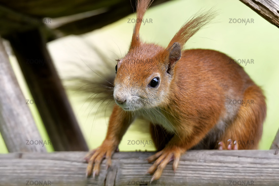 Red Squirrel in the bird house