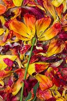 Like a flower arranged petals of tulips